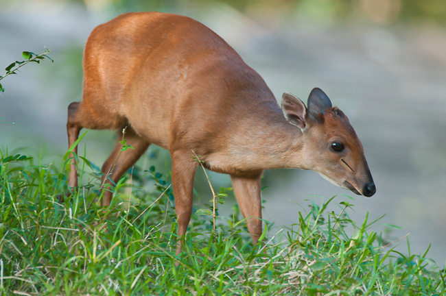 3_red_duiker_by_wildlife_and_conservation_photographer_Peter_Chadwick