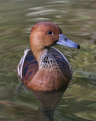 Fulvous-Whistling-Duck-362-cr