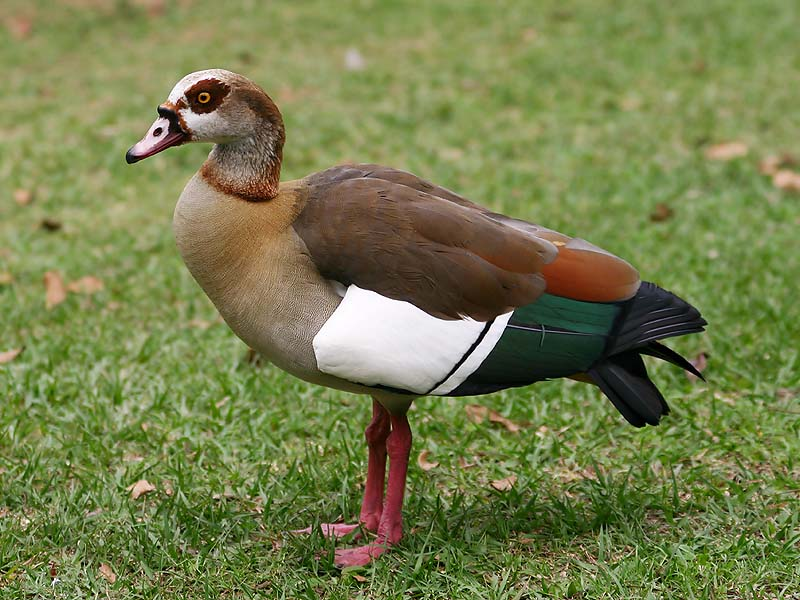 egyp goose