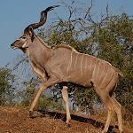 greater_kudu