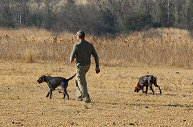 gundog-training04