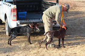 gundog-training14