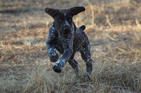gundog-training15