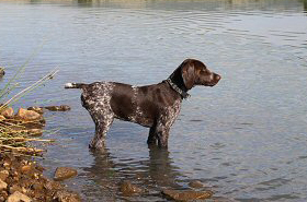 gundog-training18