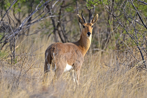 reedbuck-sovereign-outfitters-1