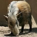 southern_bush_pig