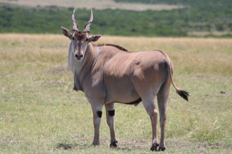 Common_eland_mara